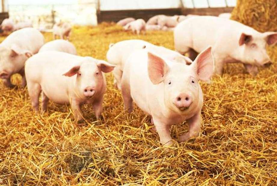 Adevărul despre pesta porcină africană, din prisma unui medic veterinar