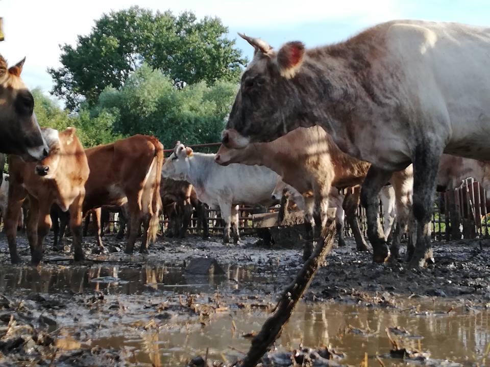 Apel al unui ONG pe social-media, pentru salvarea mai multor vaci