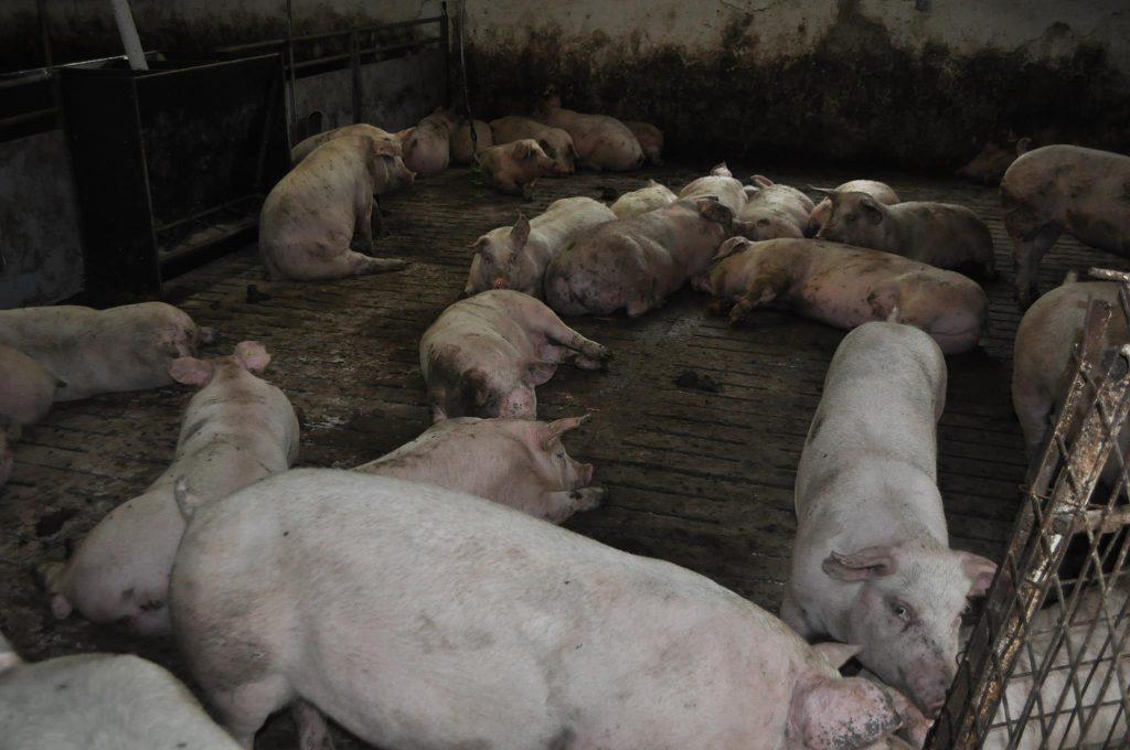 Se ucid porcii din Turcoaia, I.C. Brătianu, Cataloi, Cerna, Traianu, Mircea Vodă şi Dorobanţu - pesta porcină africană a fost confirmată!