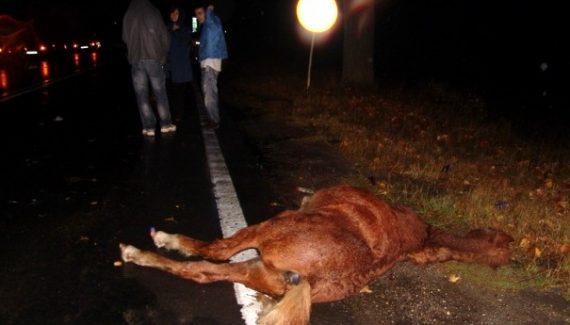 Doi cai au fost omorâţi la Somova, loviţi de o maşină condusă de o femeie de 56 de ani