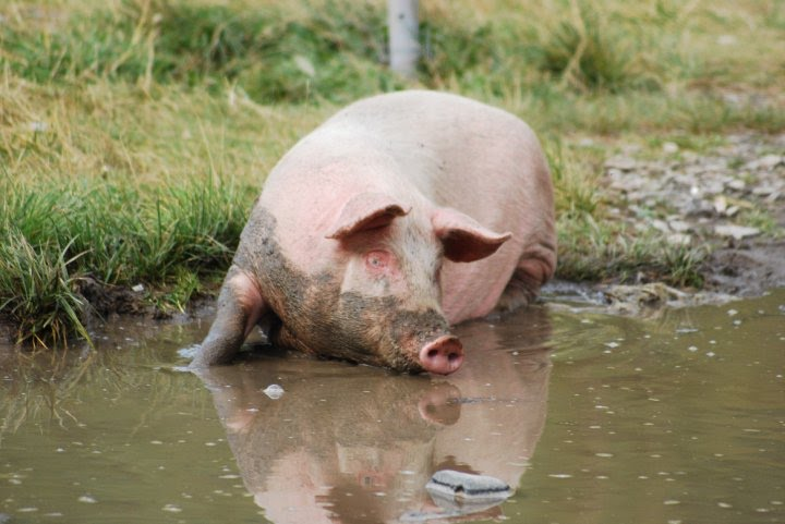 Deputatul Lucian Simion cere despăgubiri pentru porcii morți de pestă africană în Delta Dunării