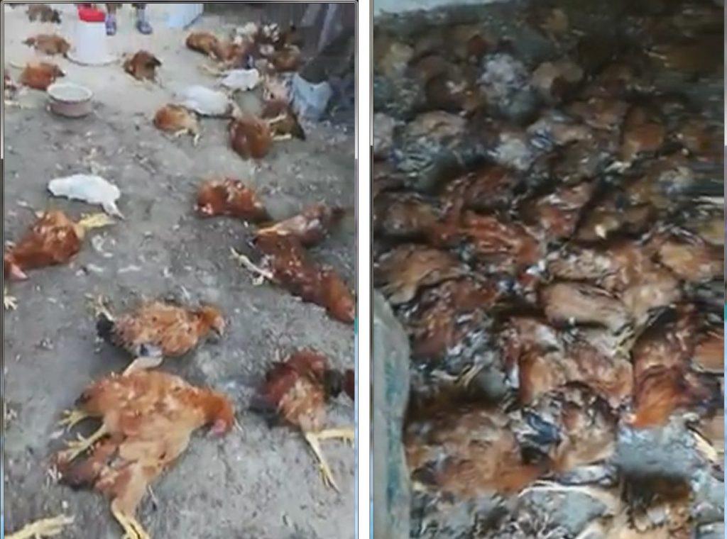 Peste o sută de găini, raţe şi iepuri au fost ucise de sălbăticiuni într-o gospodărie din Somova (Video)