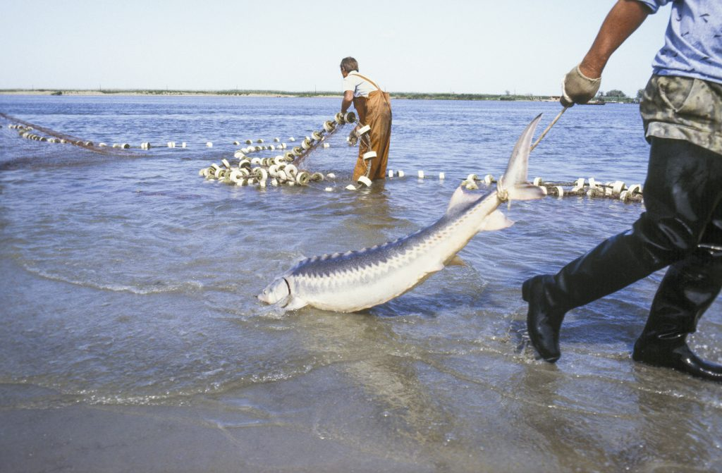 Pescarii din Delta Dunării contestă OC85, care interzice pescuitul de sturioni şi cer despăgubiri. Problema a ajuns în Parlament. Scandalul mocneşte...